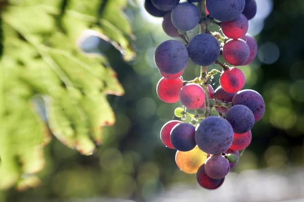 Coombsville Area Vineyard