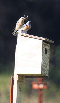 Vineyard manager uses bluebirds to control blue-green sharpshooters