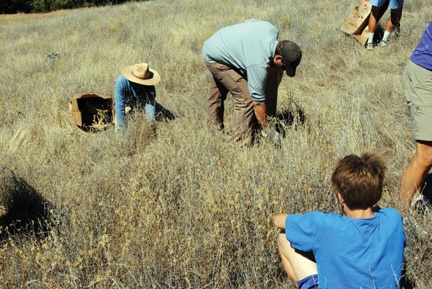 Yellow star thistle: Volunteers tackle a thorny issue