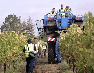 Napa Valley College's mechanical grape harvest (copy)