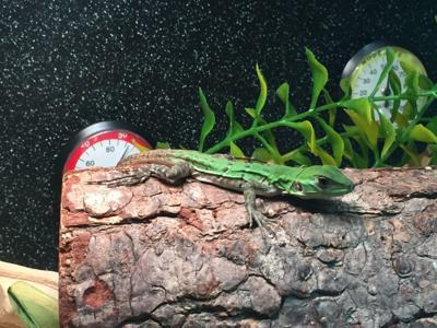Iguana from Mexico stows away to Foster City