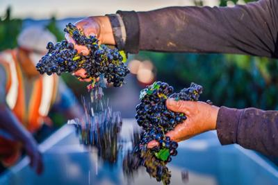 grapes harvest in 2019