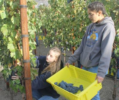 Harvest for SHHS viticulture class