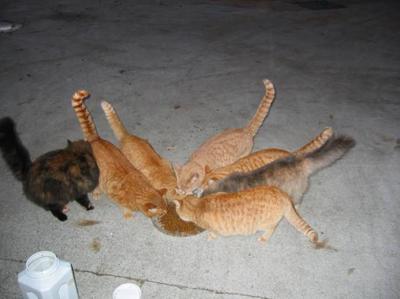 Calistoga feral cat colony