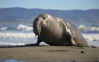 Influx of elephant seals restricts Point Reyes beach access
