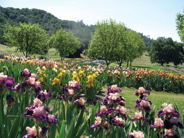 Perfect Napa Valley Iris Gardens
