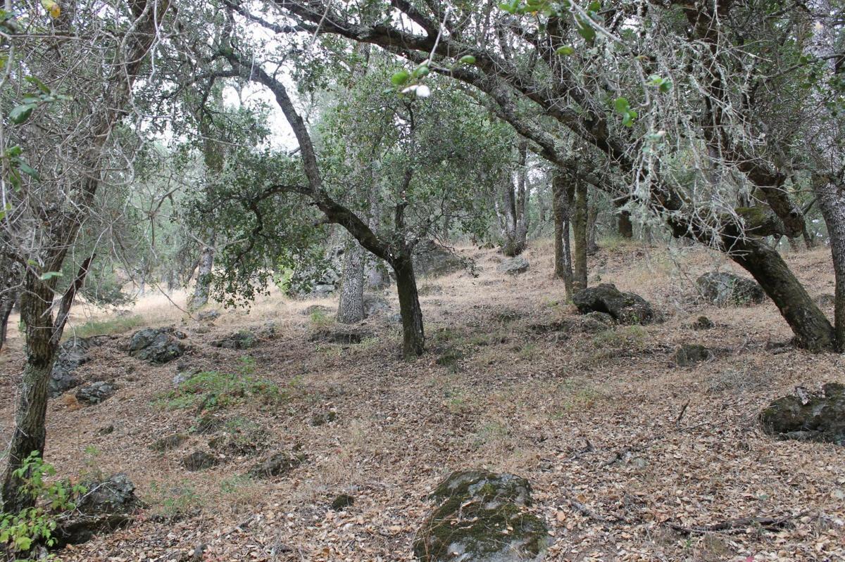 Oak woodlands of Moore Creek Park (copy)