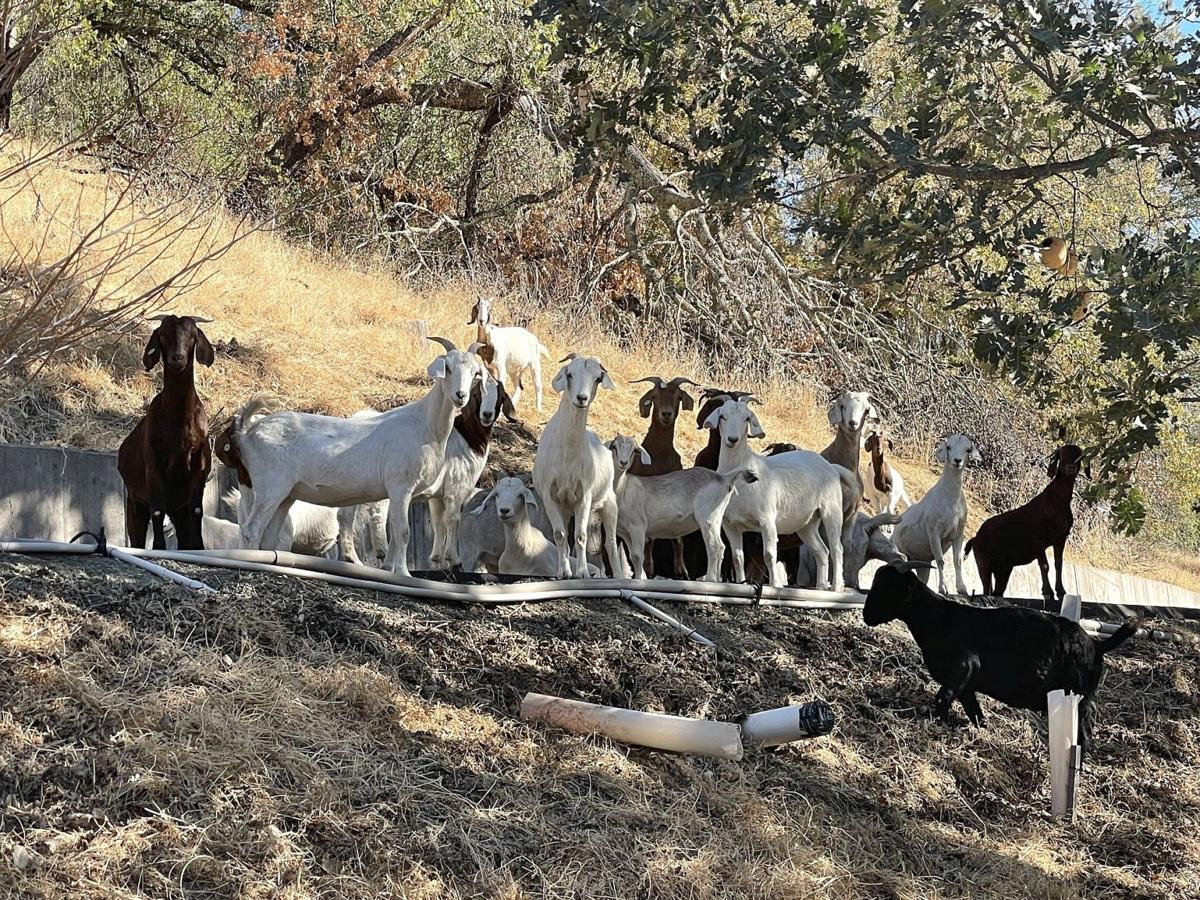 Calistoga goat project