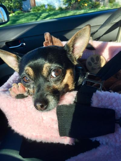 Pic of the Litter: Chi-Wubby
