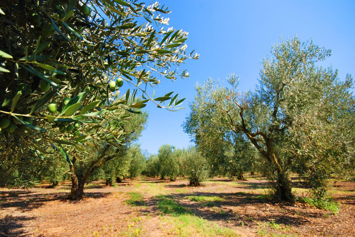 Olive Fruit Flies May Is The Time To Help Control A Crop