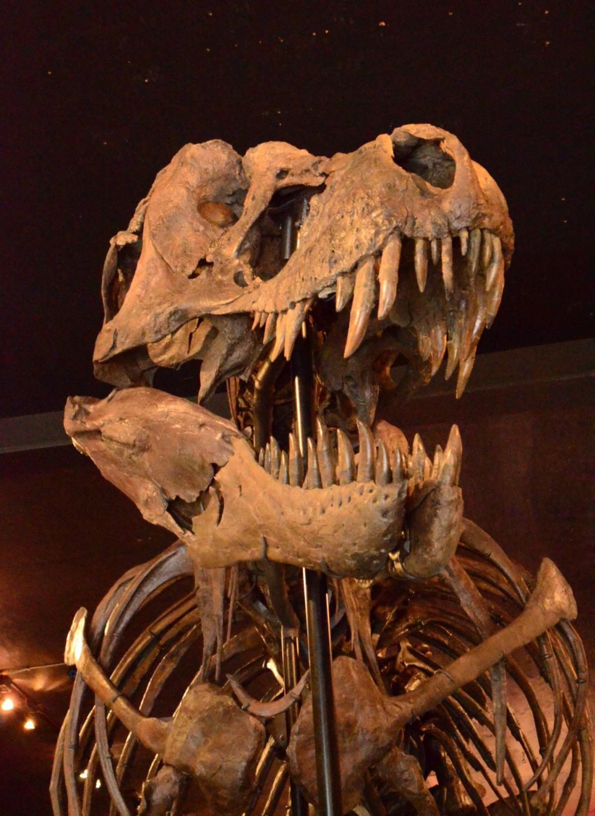 Tyrannosaurus rex in St. Helena (copy)