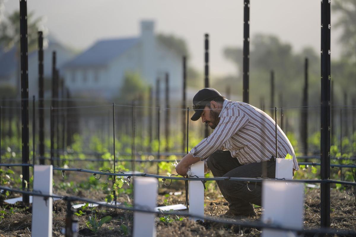 Vineyard forman Salvador Garcia at Larkmead Vineyards