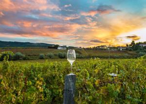 Wineglass in a vineyard during a sunset