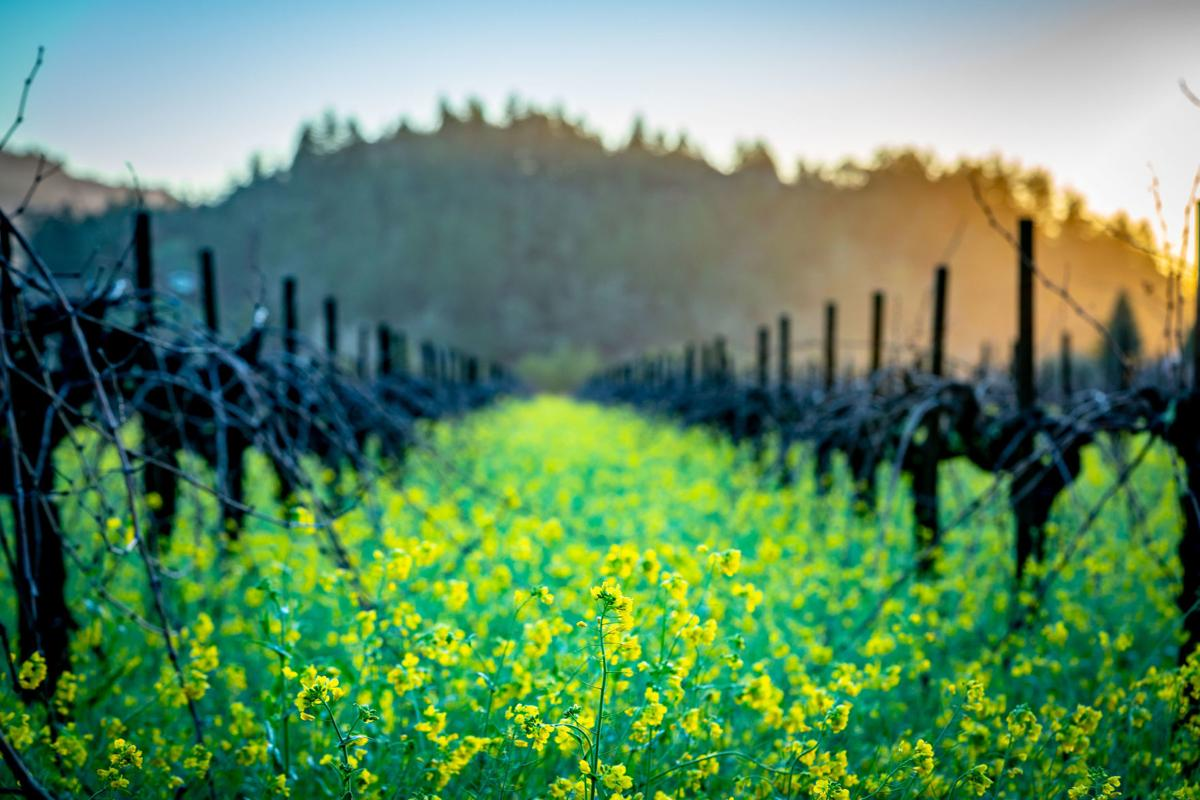 Mustard flowers in Napa Valley