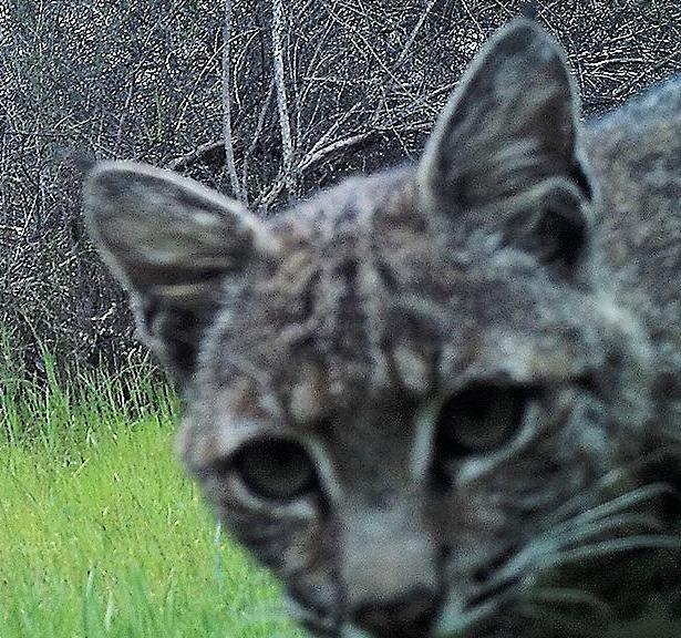Pepperwood.bobcat.wildlifecam