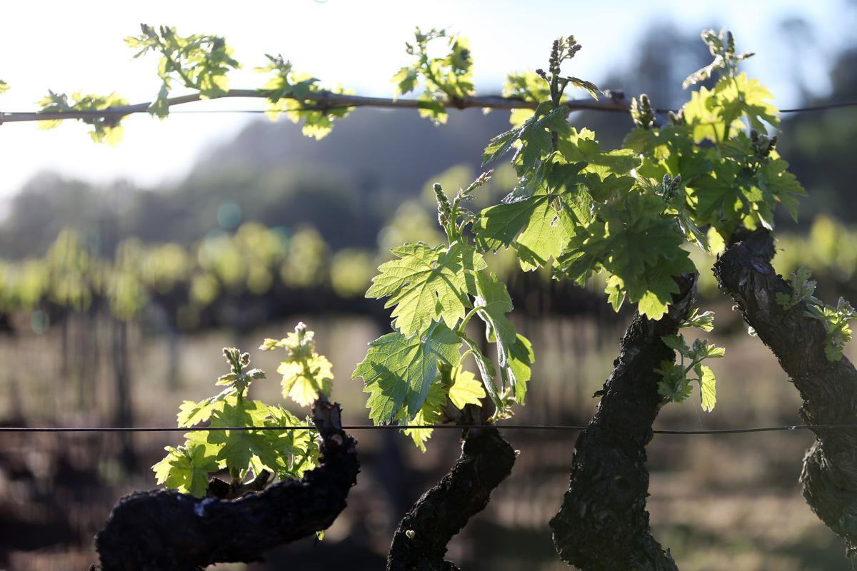 Vineyard outside the White Barn, St. Helena