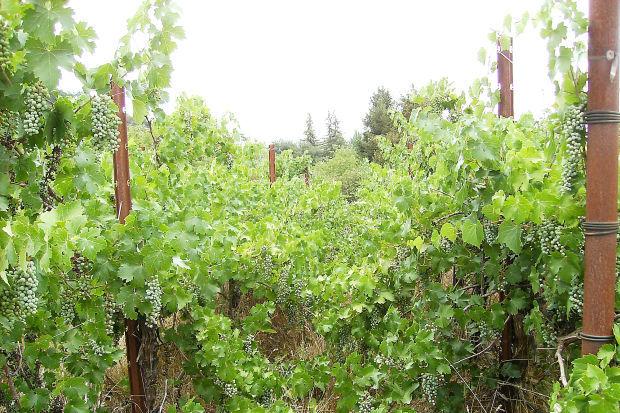 State Lane vineyard