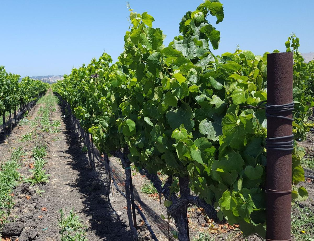 vineyards on Hess property north of American Canyon