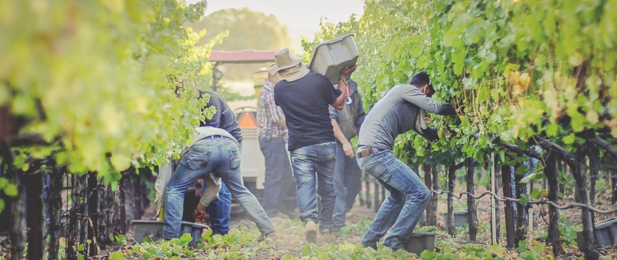 Picking crews at Rombauer Vineyards