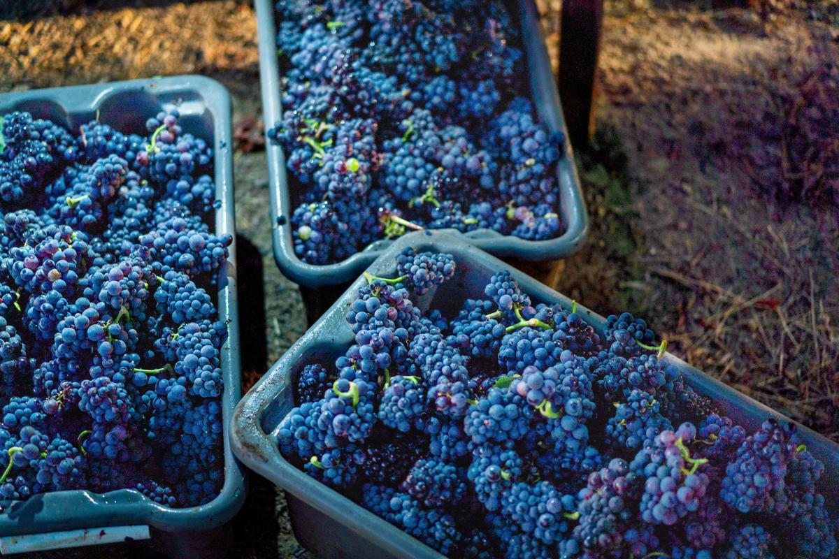 Napa Valley grape harvest