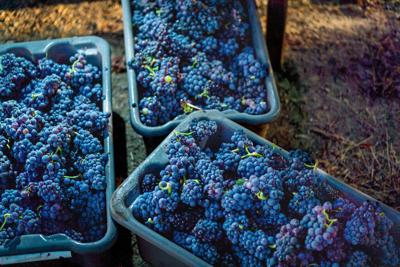 Napa Valley grape harvest 1