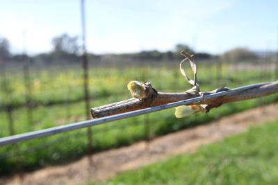 Thomson Vineyards bud break 2020