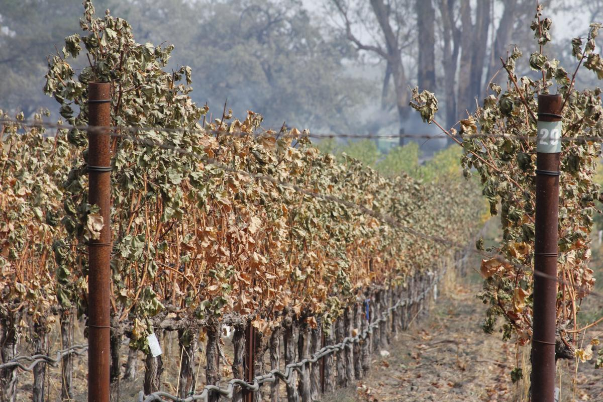 Caution Advised When Picking Napa Wine Grapes In Fire