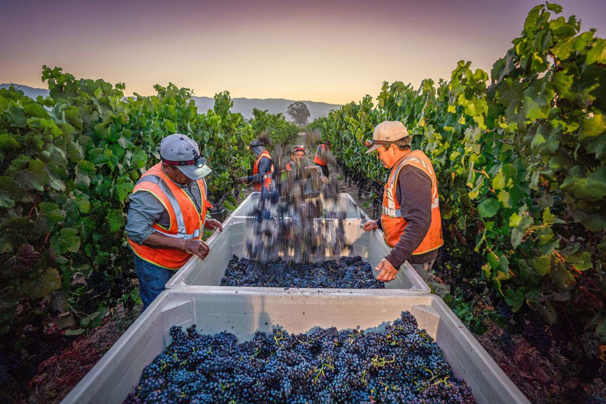 Napa Valley grape harvest 2019