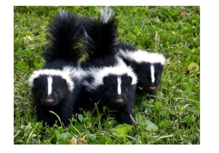skunk babies
