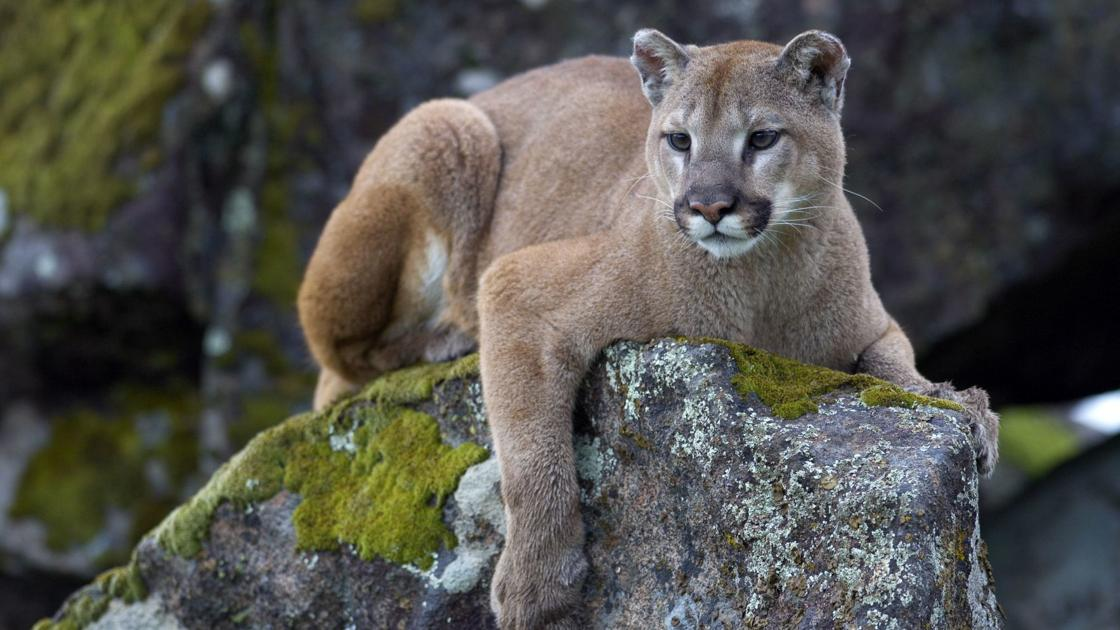 Napa Valley's Living Landscape: The elusive mountain lions