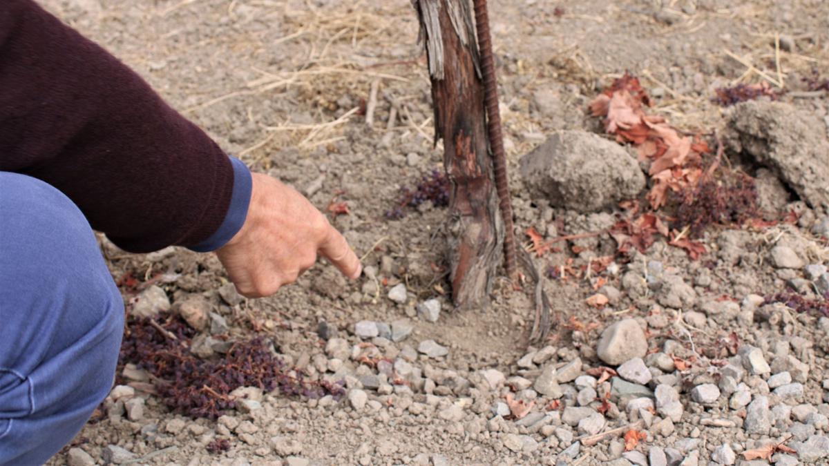 Dominus Estate Dry Vineyard - Root