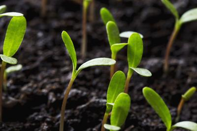 the cotyledons leaves