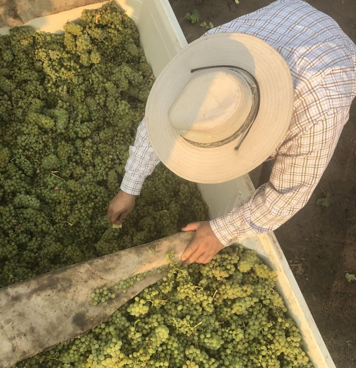 Chardonnay harvest at Trefethen Family Vineyards