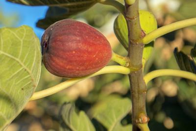 Black Jack fig in southern California United States