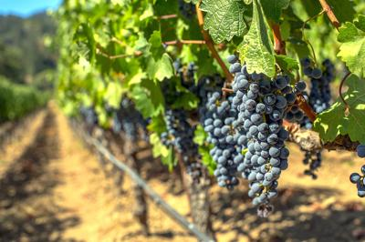 The high price of grapes from the Napa Valley
