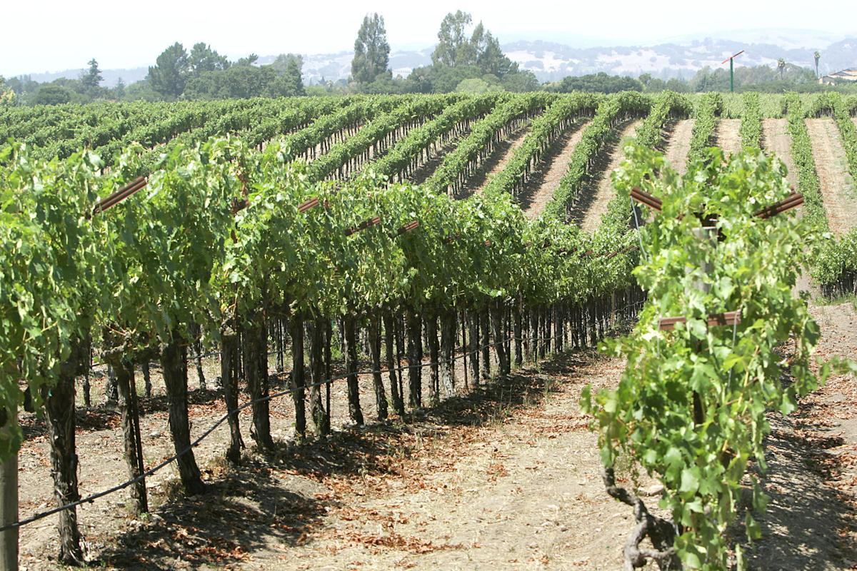 Vineyards in the Napa Valley