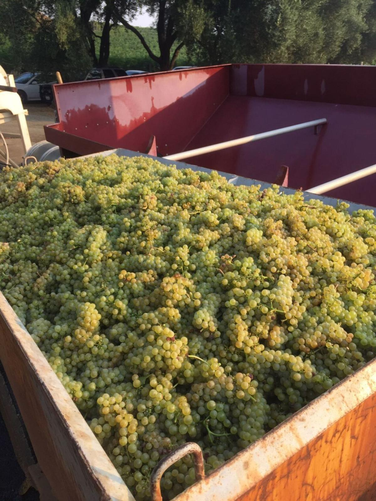 Harvest at Smith-Madrone