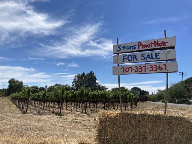 Pinot Grapes for sale