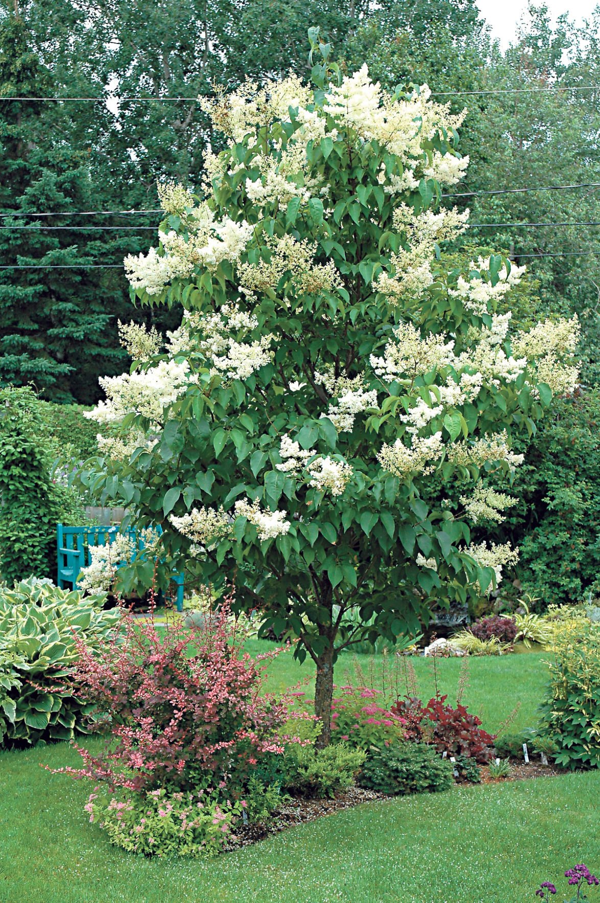 Gary church japanese lilac tree hardy enough to survive for Hardy low maintenance shrubs