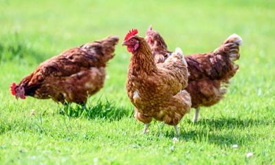 Avian influenza strain calls for flock protection
