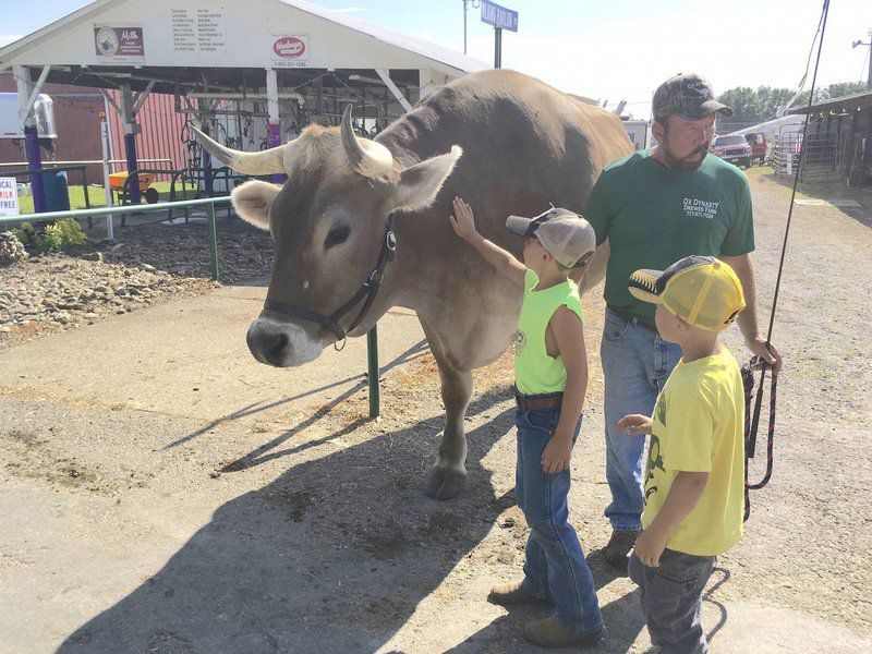 Oxen to lure kisses from awestruck fairgoers