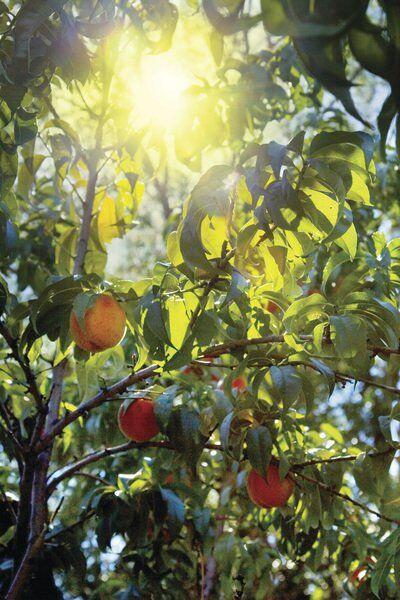 Column by Gary Church: When it comes to fruit trees, this one's just peachy