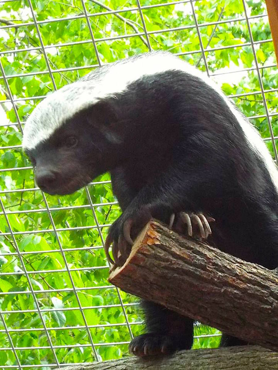 Paxton the Honey Badger