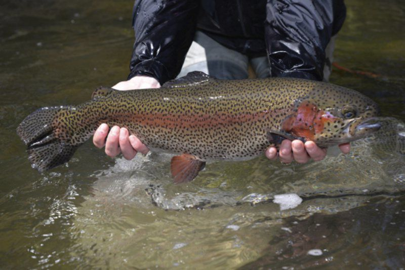 Trout fever about to hook anglers