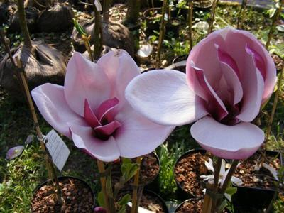 Column by Gary Church: Magnolia's blooms won't retire from 'March to Frost'