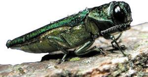 Newark prepares for emerald ash borer