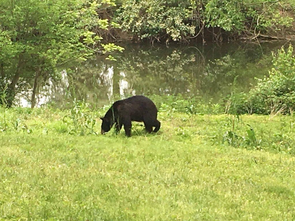 Black bear continues to head west | News | newarkpostonline com