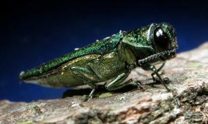 Stingless wasps released to combat invasive beetle that could devastate Newark's ash trees