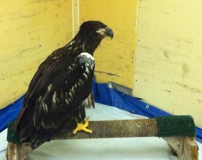 Bald eagle rescued from river on July 4th