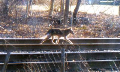 More coyotes seen on North Shore